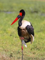Аист седлоклювый ябиру (лат. Ephippiorhynchus senegalensis). Saddle billed stork at Masai Mara national park Kenya. Фото photogallet-Depositphotos