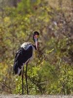 Аист седлоклювый ябиру (лат. Ephippiorhynchus senegalensis). Saddle-billed stork in Kruger National park, South Africa. Фото Utopia_88-Depositphotos