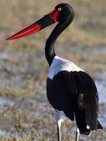 Аист седлоклювый ябиру (лат. Ephippiorhynchus senegalensis). Saddlebilled Stork in the Xakanaka region. Фото Steve_Allen-Deposi