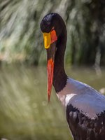 Аист седлоклювый ябиру (лат. Ephippiorhynchus senegalensis). Detailed view of a african Saddle-billed Stork. Фото arq.nuno.miguel.almeida-De