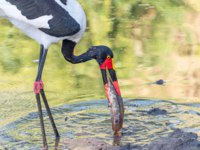 Аист седлоклювый ябиру (лат. Ephippiorhynchus senegalensis). Close-up of a saddle-billed stork, with its prey, a fish, in a river. Фото dpreezg-Depositphotos