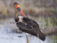 Аист седлоклювый ябиру (лат. Ephippiorhynchus senegalensis). Immature saddle billed stork hunting for frogs in a shallow pond. Фото AOosthuizen-Depositphotos