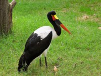 Аист седлоклювый ябиру (лат. Ephippiorhynchus senegalensis). Saddle-billed stork, resting on a meadow. Фото Arrxxx-Depositphotos