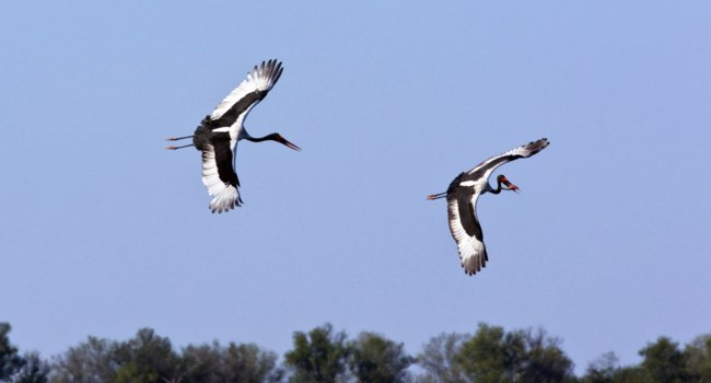 Аист седлоклювый ябиру (лат. Ephippiorhynchus senegalensis). Two Saddle-billed Storks in a newly flooded area of the Savuti region. Фото Steve_Allen-Dep