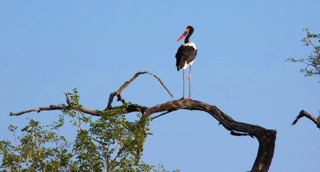 Аист седлоклювый ябиру (лат. Ephippiorhynchus senegalensis). Saddle-billed stork in a tree. Фото photogallet-Depositphotos