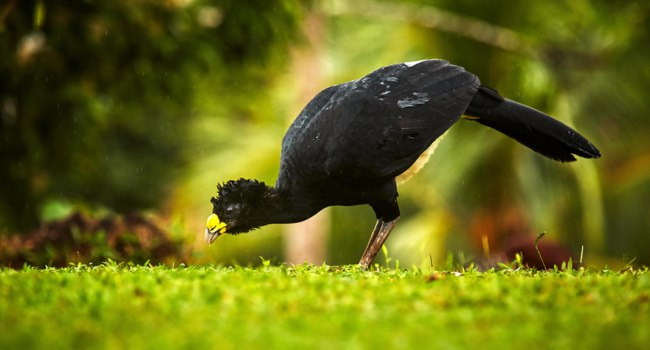 Блог Павла Аксенова. Большой кракс. Bare-faced Curassow. Big black bird with yellow bill in the nature habitat, Costa Rica. Фото salinger - Depositphotos