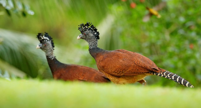 Блог Павла Аксенова. Большой кракс. Bare-faced Curassows. Birds with yellow billd in the nature habitat, Costa Rica. Фото OndrejProsicky - Depositphotos