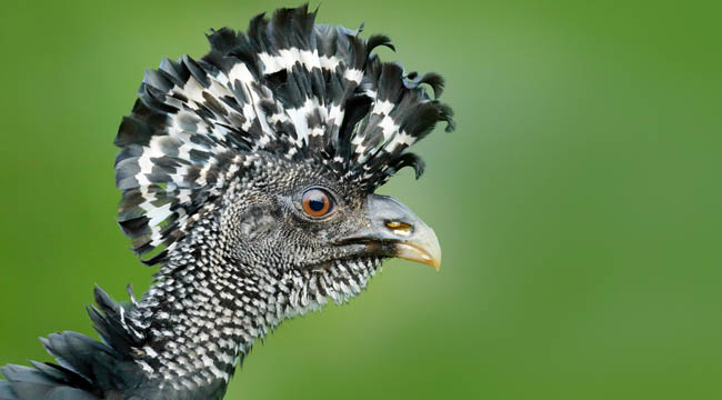 Блог Павла Аксенова. Большой кракс. Close up portrait of Bare-faced Curassow. Costa Rica. Фото OndrejProsicky - Depositphotos