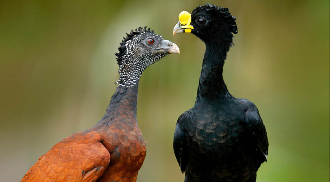 Большой кракс. Great Curassow, Crax rubra, big black birds with yellow bill in the nature habitat, Costa Rica. Pair of birds, male and female. Фото OndrejProsicky