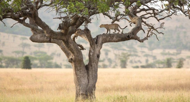 Блог Павла Аксенова. Африканский леопард. One African Leopard in a sausage tree in the Serengeti, Tanzania. Фото StuPorter - Depositphotos