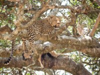 Блог Павла Аксенова. Африканский леопард. Male African Leopard in a tree with a kill, Serengeti, Tanzania. Фото StuPorter - Depositphotos
