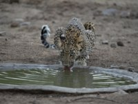 Индия. Индийский леопард. Indian leopard drinking water, Panthera pardus fusca, Jhalana, Rajasthan, India. Фото RealityImages - Depositphotos
