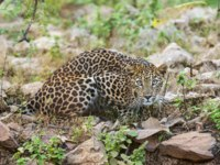 Индия. Индийский леопард. Indian leopard, Panthera pardus fusca, Jhalana, Rajasthan, India. Фото RealityImages - Depositphotos
