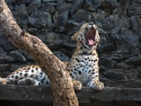 Индийский леопард. Panthera pardus fusca. Male Indian leopard in his confinement at a wildlife sanctuary. Фото deyroop - Depositphotos