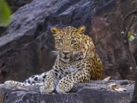 Индия. Индийский леопард. Indian Leopard, Panthera pardus fusca, Panna Tiger Reserve, Madhya Pradesh India. Фото RealityImages - Depositphotos