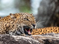 Шри-Ланка. Цейлонский леопард. Leopard roaring on a stone. The Sri Lankan leopard (Panthera pardus kotiya) female. Фото SURZet - Depositphotos