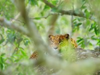 Sri Lankan leopard, Panthera pardus kotiya, big spotted cat lying on the tree in the nature habitat, Yala national park, Sri Lanka. Фото OndrejProsicky - Depositphotos