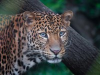 Индонезия. О.Ява. Яванский леопард (Panthera pardus melas). Javan leopard with nice look in the forest. Фото rebius - Depositphotos