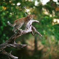 Детеныш леопарда. (лат. Panthera pardus). A baby leopard on branch. Фото Gi0572 -Depositphotos