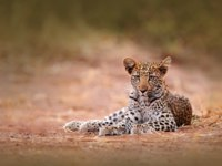 Young African Leopard, Panthera pardus shortidgei, Hwange National Park, Zimbabwe. Beautiful wild cat sitting on the gravel road in Africa. Фото OndrejProsicky - Depositphotos