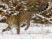 Блог Павла Аксенова. Дальневосточный леопард (лат. Panthera pardus orientalis). Amur Leopard in a snowy forest hunting for prey. Фото actionsports - Depositphotos