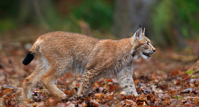 Обыкновенная рысь (лат. Lynx lynx). Walking wild cat Eurasian Lynx in orange autumn leaves, forest in background. Фото OndrejProsicky - Depositphotos