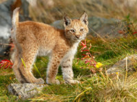 Блог Павла Аксенова. Обыкновенная рысь (лат. Lynx lynx). Cute and beautiful lynx cub sitting in a green meadow. Фото MennoSchaefer - Depositphotos