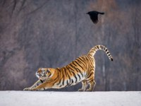 Siberian tiger catching game fowl in winter forest, Siberian Tiger Park, Hengdaohezi park, Mudanjiang province, Harbin, China. Фото GUDKOVANDREY - Depositphotos