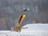 Siberian tiger catching prey in jump in wintry forest glade, Siberian Tiger Park, Hengdaohezi park, Mudanjiang province, China. Фото GUDKOVANDREY - Depositphotos
