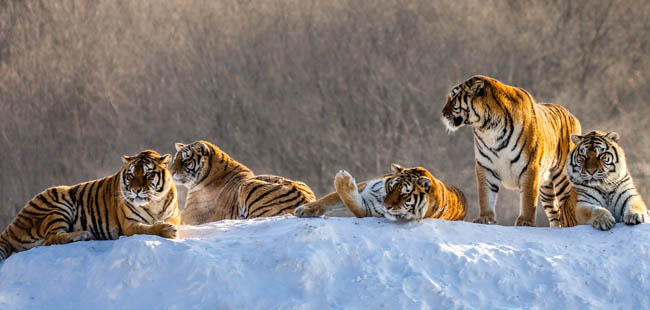 Siberian tigers resting on snow-covered hill in sunny weather, Siberian Tiger Park, Hengdaohezi park, Mudanjiang province, China. Фото GUDKOVANDREY - Depositphotos