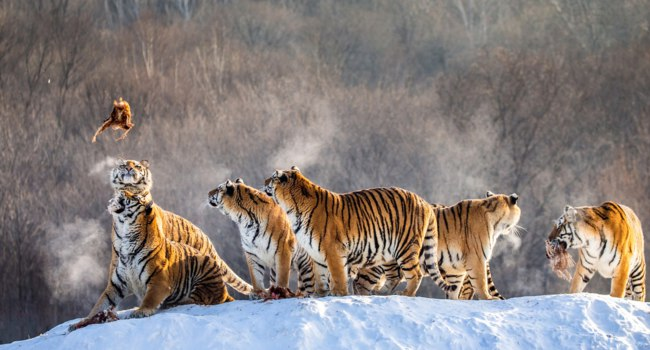 Group of Siberian tigers hunting prey on snowy meadow of winter forest, Siberian Tiger Park, Hengdaohezi park. Фото GUDKOVANDREY - Depositphotos