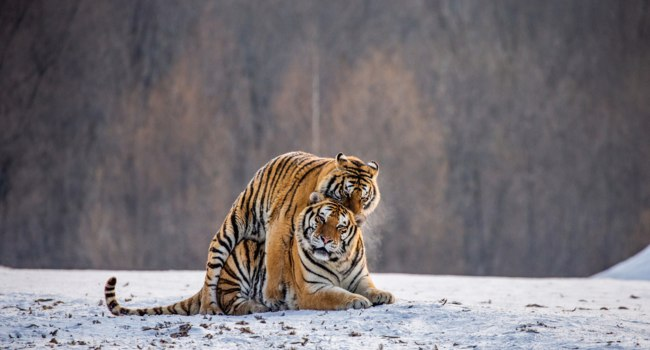 Pair of Siberian tigers mating on snowy meadow of winter forest, Siberian Tiger Park, Hengdaohezi park. Фото GUDKOVANDREY - Depositphotos