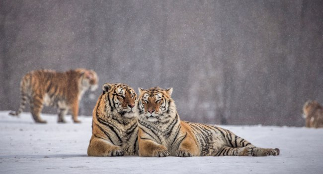 Siberian tigers lying side by side on snowy meadow of winter forest, Siberian Tiger Park, Hengdaohezi park, Mudanjiang province. Фото GUDKOVANDREY - Depositphotos