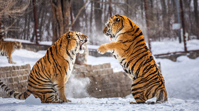 Siberian tigers playing in snowy glade, Siberian Tiger Park, Hengdaohezi park, Mudanjiang province, Harbin, China. Фото GUDKOVANDREY - Depositphotos
