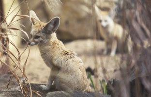 Блог Павла Аксенова. Лиса Фенек (лат. Vulpes zerda). Close up on Fennec Fox. Фото trybex - Depositphotos