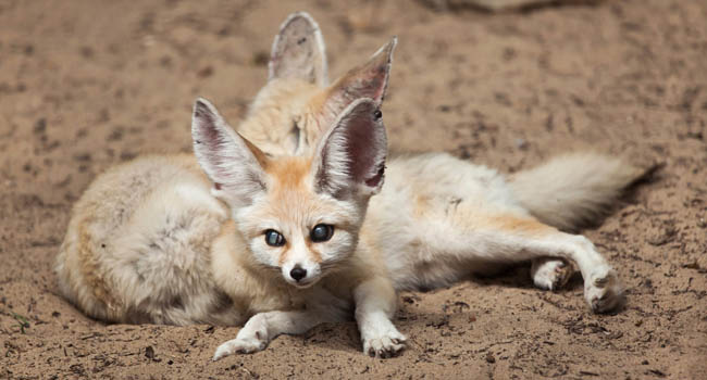 Блог Павла Аксенова. Лиса Фенек (лат. Vulpes zerda). Fennec foxes. Wildlife animal. Фото wrangel - Depositphotos