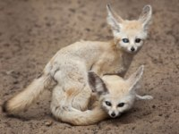 Блог Павла Аксенова. Лиса Фенек (лат. Vulpes zerda). Fennec foxes have sex. Фото wrangel - Depositphotos