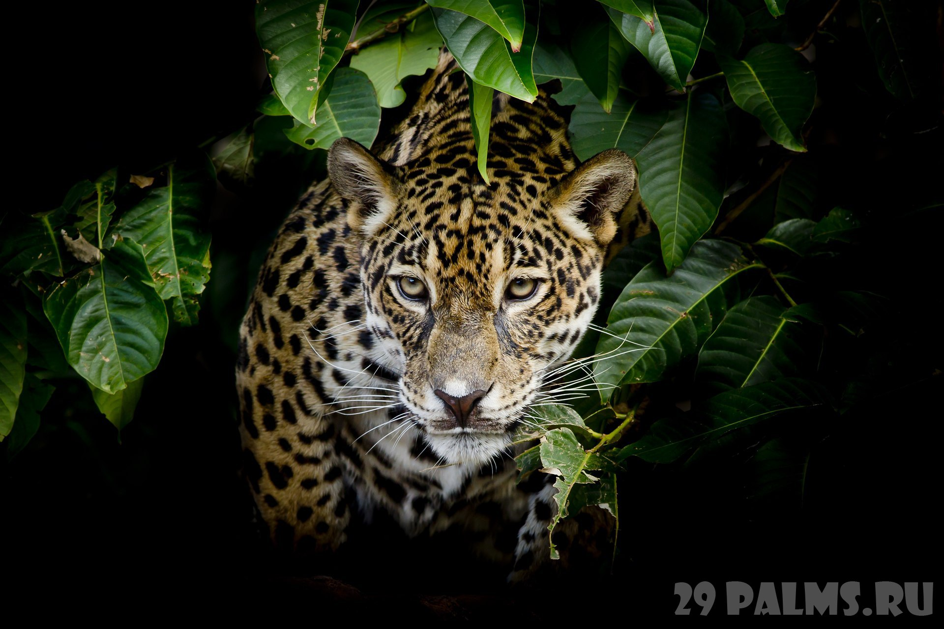 Блог Павла Аксенова. Ягуар (Panthera onca). Jaguar portrait. Фото art9858 - Depositphotos