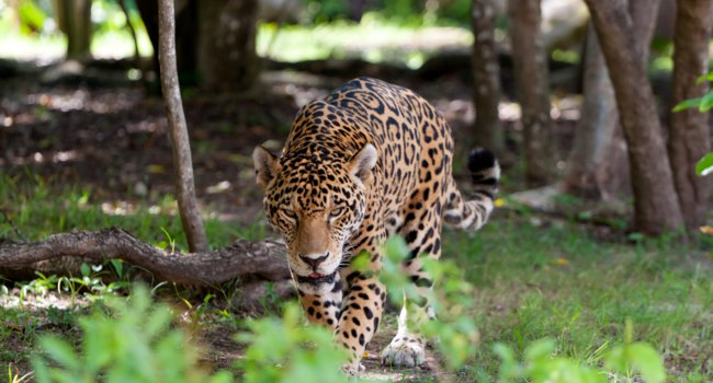 Блог Павла Аксенова. Ягуар (Panthera onca). Jaguar in wildlife. Фото Mustang_79 - Depositphotos