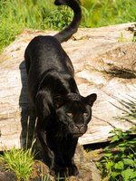 Блог Павла Аксенова. Ягуар (Panthera onca). Black jaguar Panthera Onca. Фото davemhuntphoto - Depositphotos