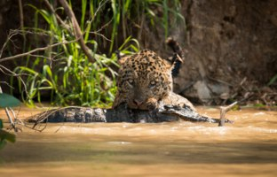 Блог Павла Аксенова. Ягуар (Panthera onca). Jaguar pulling dead yacare caiman through river. Фото nicholas_dale - Depositphotos