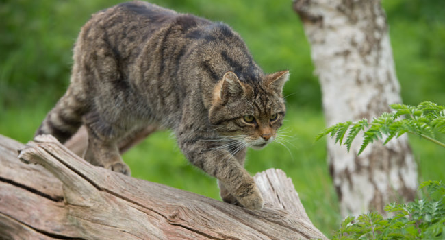 Блог Павла Аксенова. Scottish Wildcat (Felis Silvestris Grampia). Фото davemhuntphoto - Depositphotos