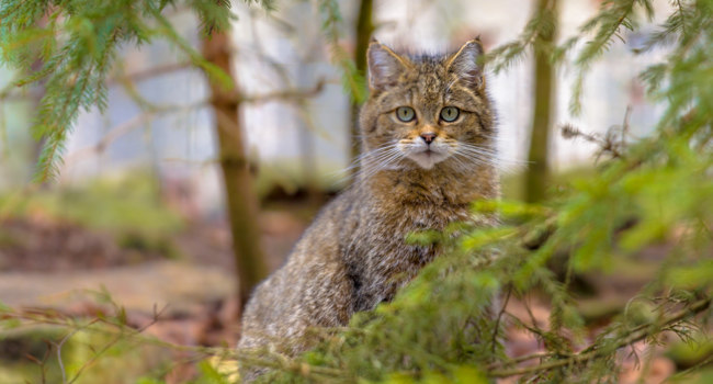 Блог Павла Аксенова.  The European Wildcat (Felis silvestris silvestris). Фото CreativeNature - Depositphotos