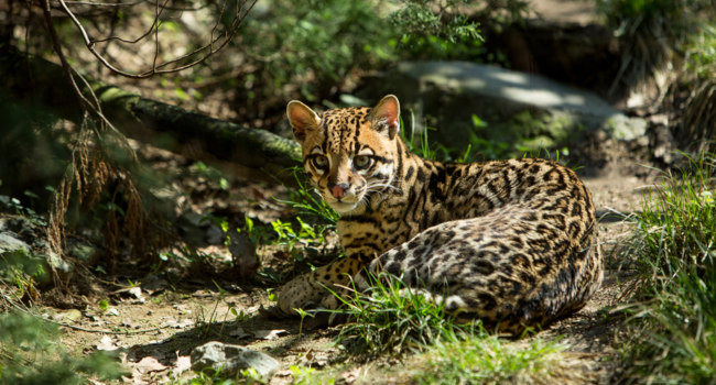 Блог Павла Аксенова. Оцелот (лат. Leopardus pardalis). Фото elitravo - Depositphotos