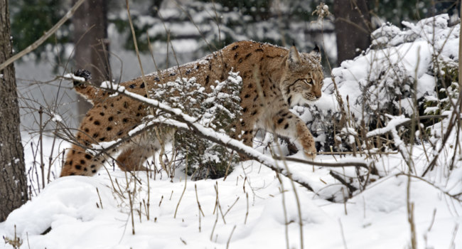 Блог Павла Аксенова. Пиренейская рысь (Lynx pardinus). Lynx in winter. Фото kyslynskyy - Depositphotos