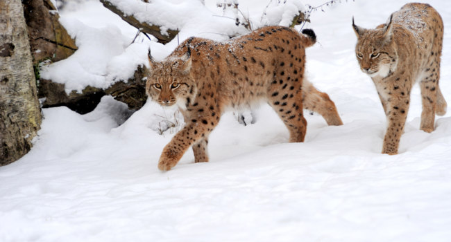 Блог Павла Аксенова. Пиренейская рысь (Lynx pardinus). Lynx in winter. Фото VolodymyrBur - Depositphotos