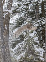 Блог Павла Аксенова. Рыжая рысь (лат. Lynx rufus, англ. Bobcat). Фото actionsports - Depositphotos