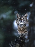 Блог Павла Аксенова. Рыжая рысь (лат. Lynx rufus, англ. Bobcat). Фото twildlife - Depositphotos