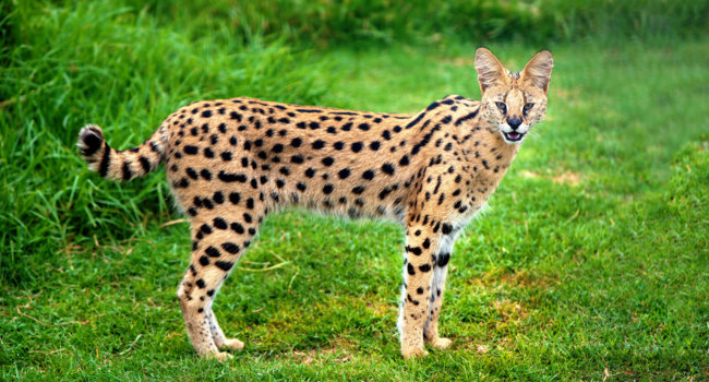 Блог Павла Аксенова. Сервал (Leptailurus serval). Фото Cheetah123 - Depositphotos