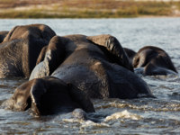 Блог Павла Аксенова. Слон – он и в Африке… слон. A herd of African elephants on the banks of the Chobe River in Botswana. Фото Forgiss Depositphotos